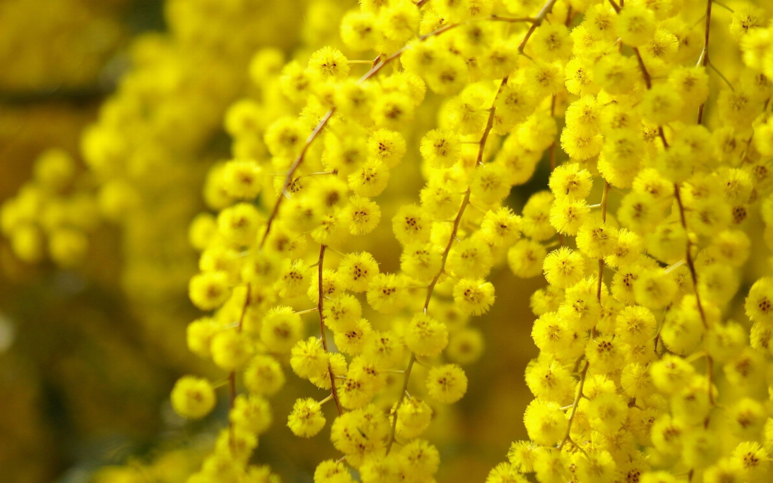 Acacia Flower Yellow Blossom Yellow Flower Wallpaper Blossom