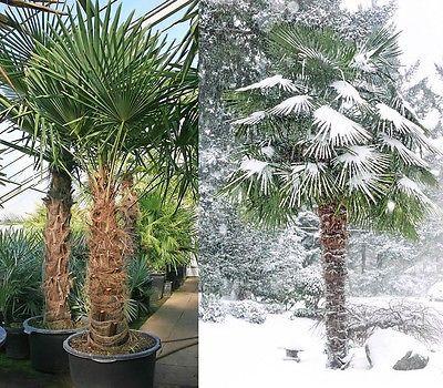 Trachycarpus fortunei 10 Tree Seeds Windmill Palm / Chusan Palm Hardy Evergreen
