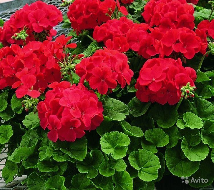 1 капля йода для обильного цветения герани!