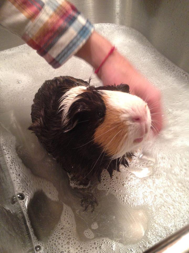 Eugene the guinea pig!
