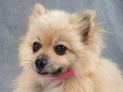 Adopt Oona A Lovely 5 Years 3 Months Dog Available For Adoption At Petango Com Oona Is A Pomeranian And Is Availab Dog Adoption Puppy Adoption Pet Adoption