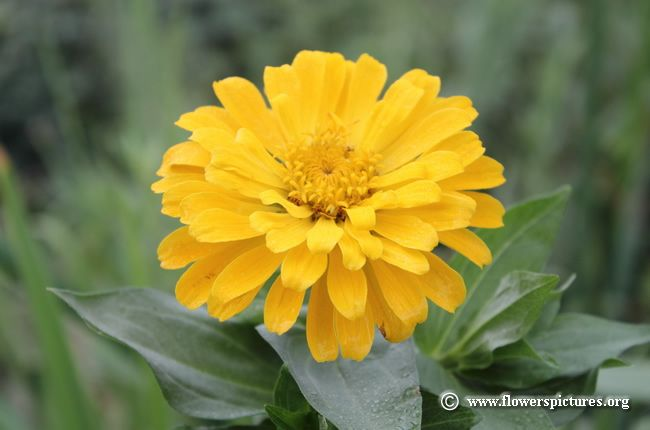 Zinnia flower 43 gardens and flowers pinterest zinnias pictures of zinnia flowersbeautiful zinnia flower photos and images on this website mightylinksfo