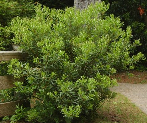 Fence cluster pacific wax myrtle myrica californica is an fence cluster pacific wax myrtle myrica californica is an evergreen shrub native to the wa state coast grows up to for an excellent screening plant publicscrutiny Images