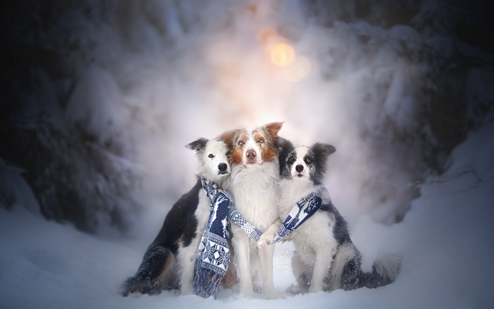 Download Wallpapers Border Collie Three Dogs Winter Snow Friendship Concepts Pets Cute Dogs Breeds Of British Dogs Besthqwallpapers Com Haustiere Hunde Collie