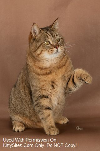 Pixie Bob Cat Kitten Website Listings At Kittysites Com Pixie Bob Cats Cats And Kittens Pixie Bob