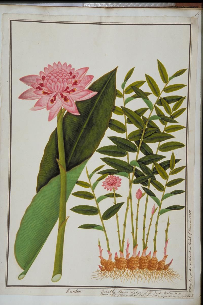 Torch Ginger William Farquhar Collection Of Natural History Drawings Torch Ginger History Drawings Torch Ginger Flower