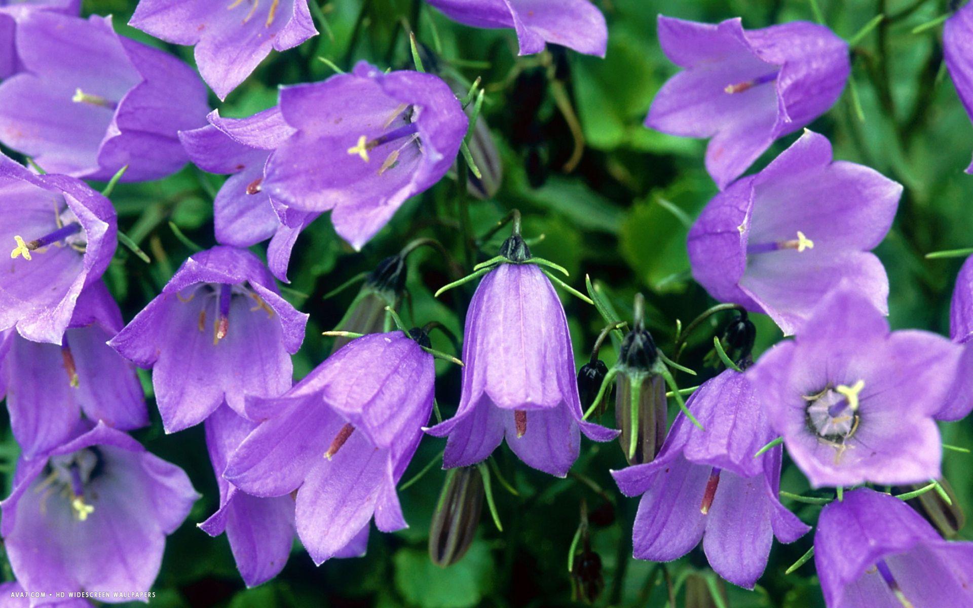 список кампанелла цветок в картинках поздравления юбилеем