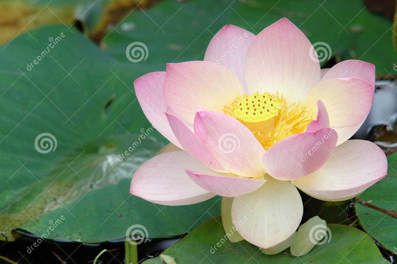 Buddhist Symbols Lotus Flower Google Search Buddhism Pinterest