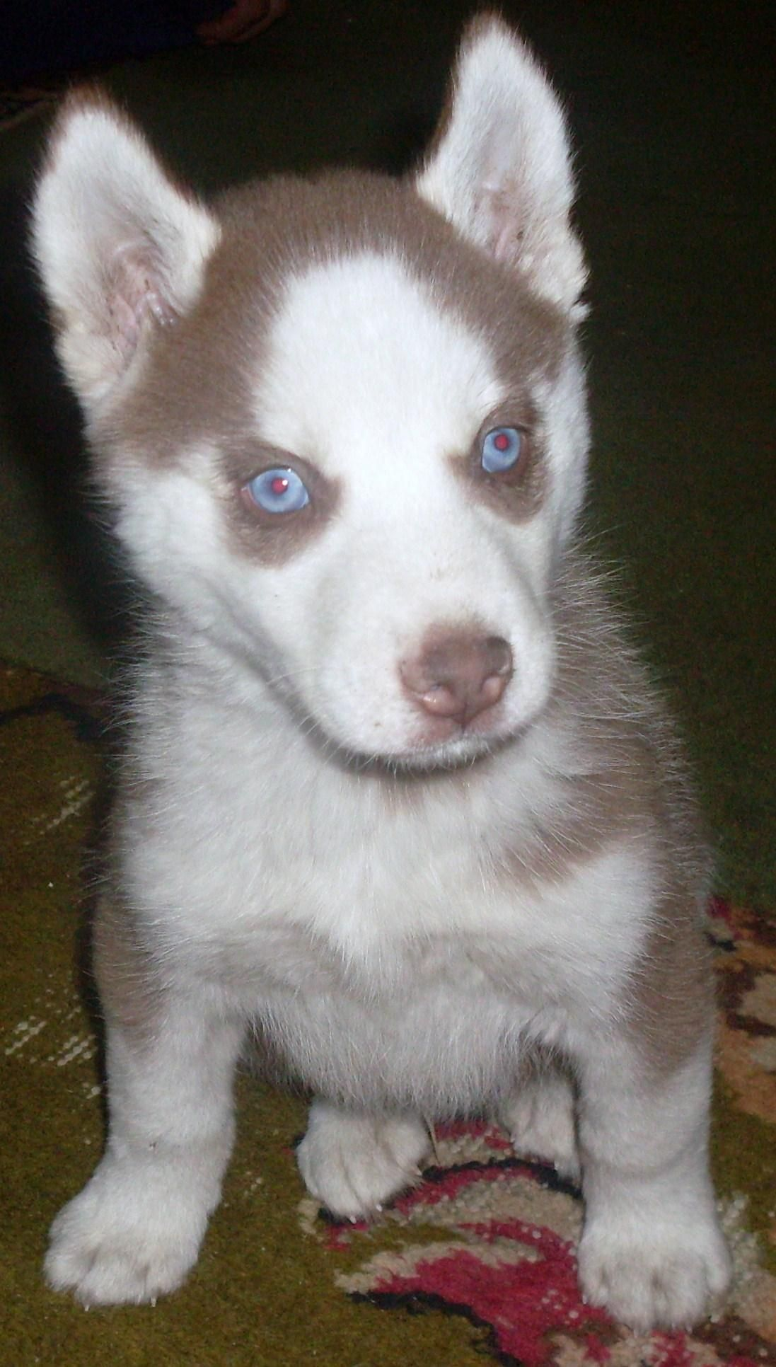 I shall have you little red husky pup red husky
