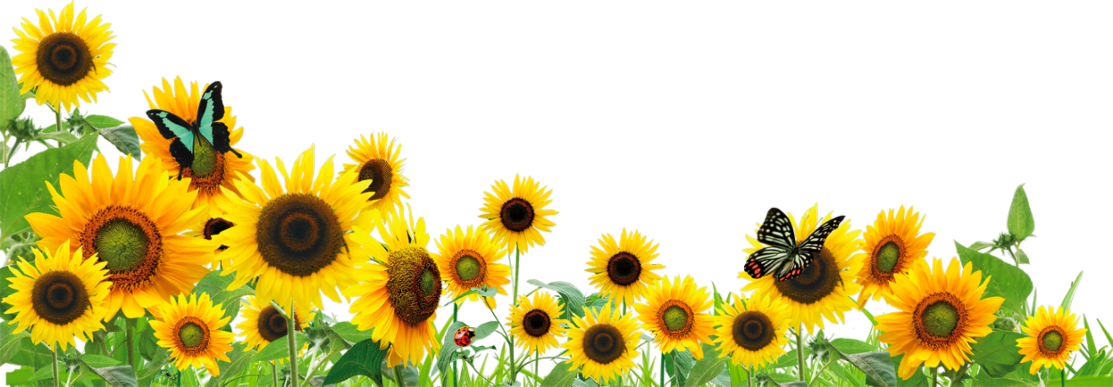 Image result for sunflowers border png