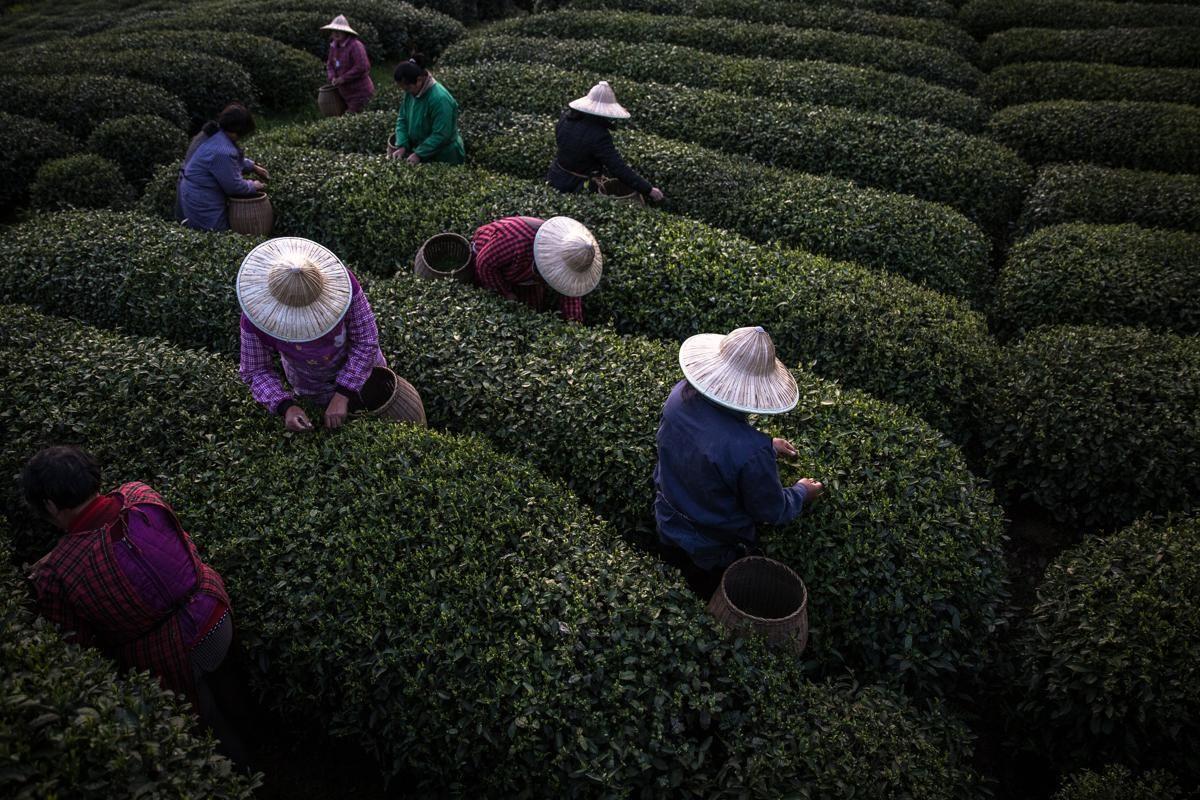 Roman Pilipey's photograph of tea pickers near Hangzhou, China (via here)