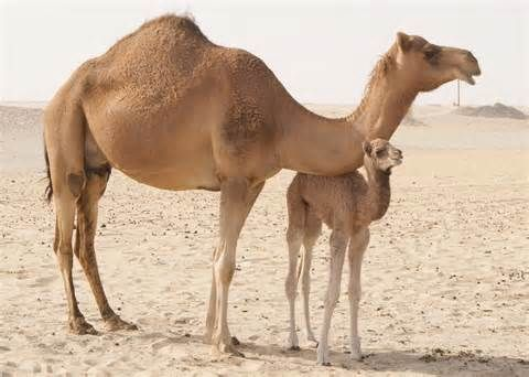 Image Of A Camel Coloring