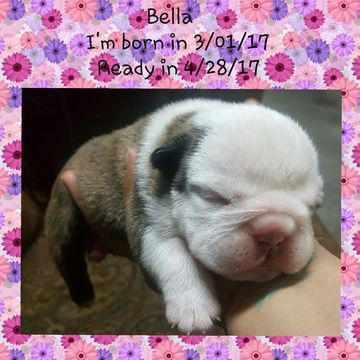 Litter Of 5 Bulldog Puppies For Sale In Laredo Tx Adn 25182 On