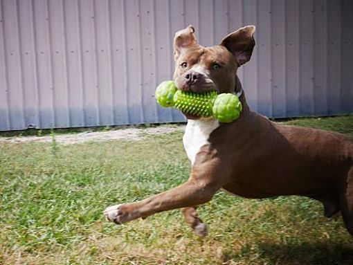 Pictures Of Murphy A American Pit Bull Terrier For Adoption In