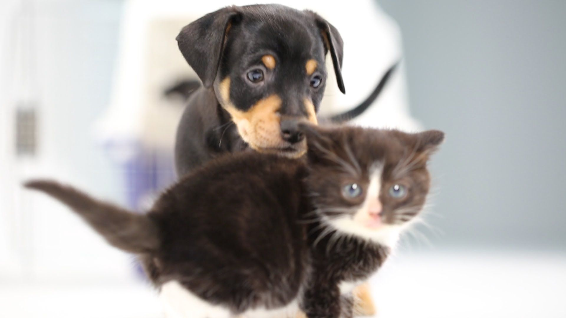 Kittens Meet Puppies For The First Time Puppies And Kitties Kittens Cutest Kittens And Puppies