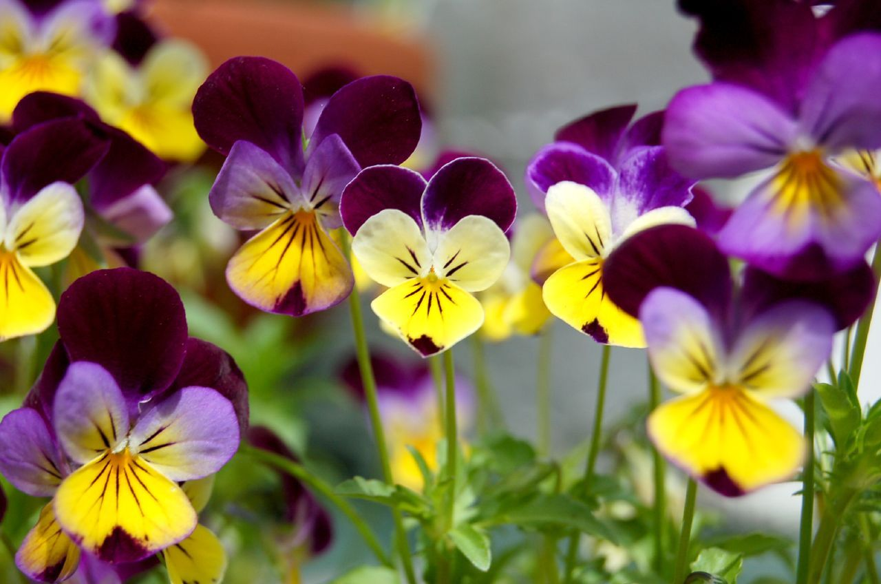 Johnny Jump Up Flowers Growing A Johnny Jump Up Violet