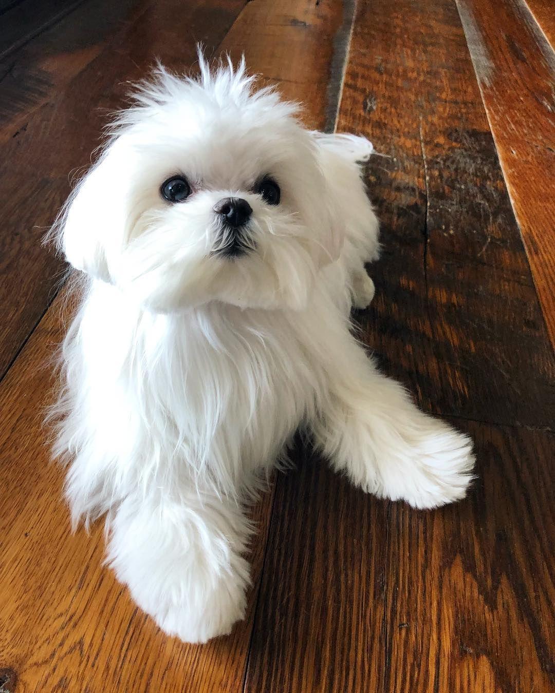 Maltese Maltese Dogs Maltese Puppy Dog Trends