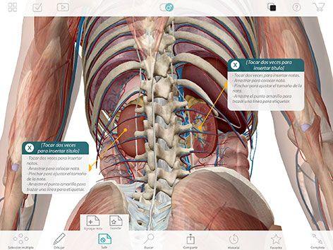 Parte del cuerpo humano donde se aprecian principalmente los riñones ...