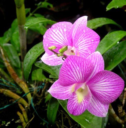 Cooktown Orchid Dendrobium Bigibbum Became Queensland S Floral Emblem In 1959 Australian Native Flowers Australian Native Plants Australian Wildflowers