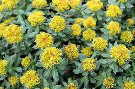 """Rhodiola Rosea este o planta adaptogena deosebita, care datorita proprietatilor sale extraordinare, ocupa un loc de frunte in randul acestor plante. Adaptogenele, cu toate ca sunt utilizate de mii de ani au fost redescoperite in zilele noastre. Rhodiola Rosea este originara din Siberia si datotita efectelor sale benefice deosebita a fost denumita si """"radacina de aur"""". In Siberia se crede ca """"cine bea un ceai de rhodiola rosea pe zi va trai 100 de ani""""…"""
