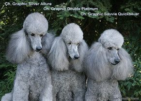 Three Generations Of Graphic Poodles With Images Standard