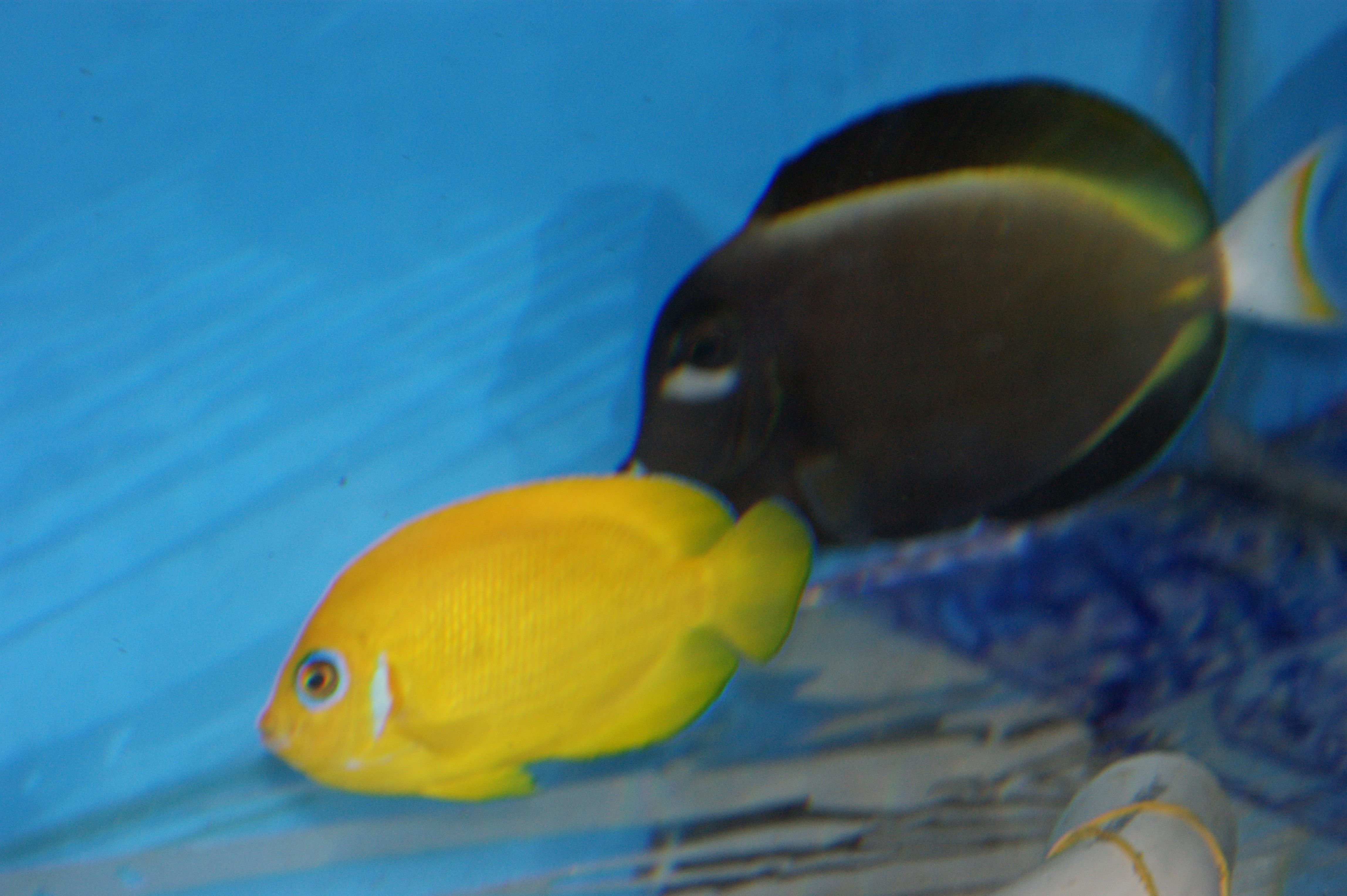 Lemonpeel Angelfish Centropyge Flavissima And Powder Grey Tang Acanthurus Nigricans For More Information Or Price Lists P Fish Pet Angel Fish Tropical Fish