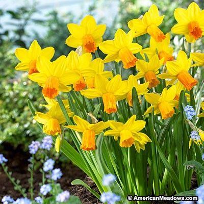 Jetfire Miniature Daffodil Daffodil Bulbs Bulb Flowers Daffodils