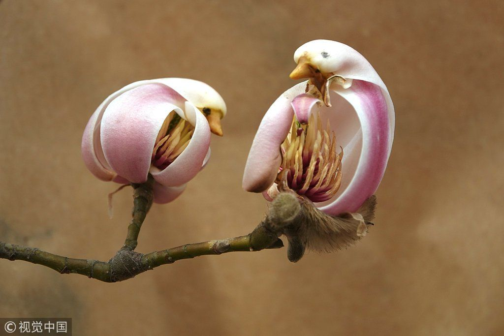 Flower Or Pretty Little Bird As Spring Arrives With Rising Temperatures Magnolia Flowers In Buds Look Like Littl Rare Flowers Unusual Flowers Strange Flowers