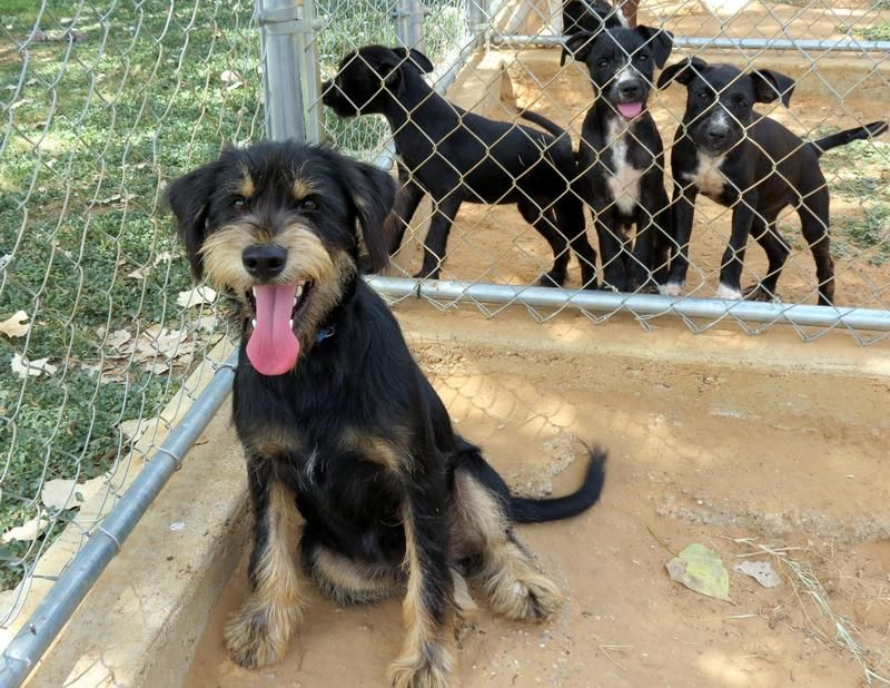 Adopt Dagwood on Paws, claws, Golden retriever mix, Dogs
