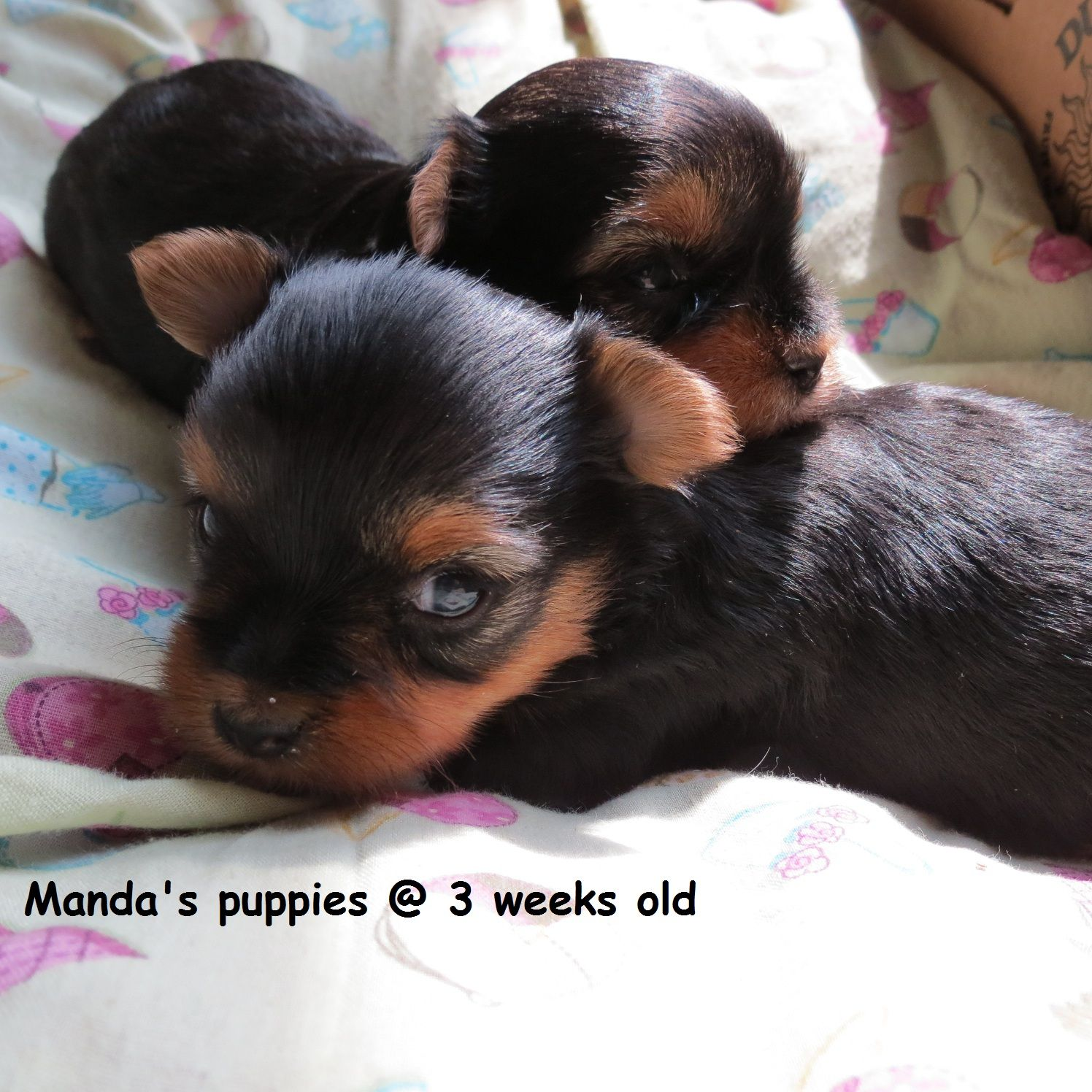 Yorkie Puppies 3 Weeks Old Yorkie Puppy Cute Puppies Yorkie