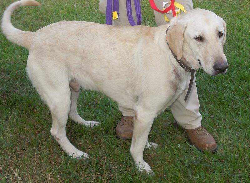 Adopt Cooper On Petfinder Labrador Retriever Rescue Yellow Labrador Retriever Labrador Retriever Dog