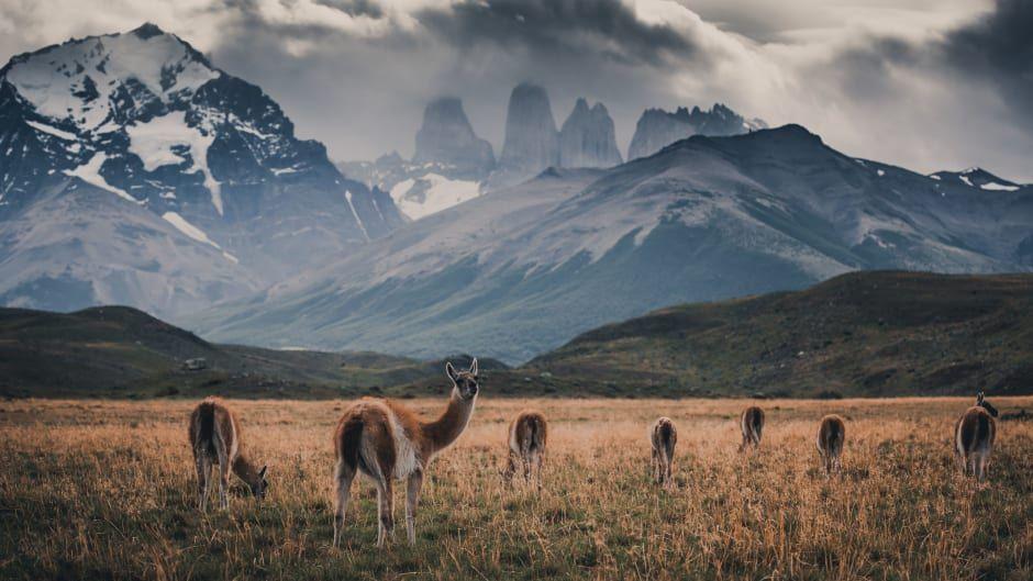 3/5. Luontokuvaajat Konsta Punkka ja Mikko Lagerstedt taltioivat guanakoja, jotka ovat Etelä-Amerikan suurimpia maaeläimiä.