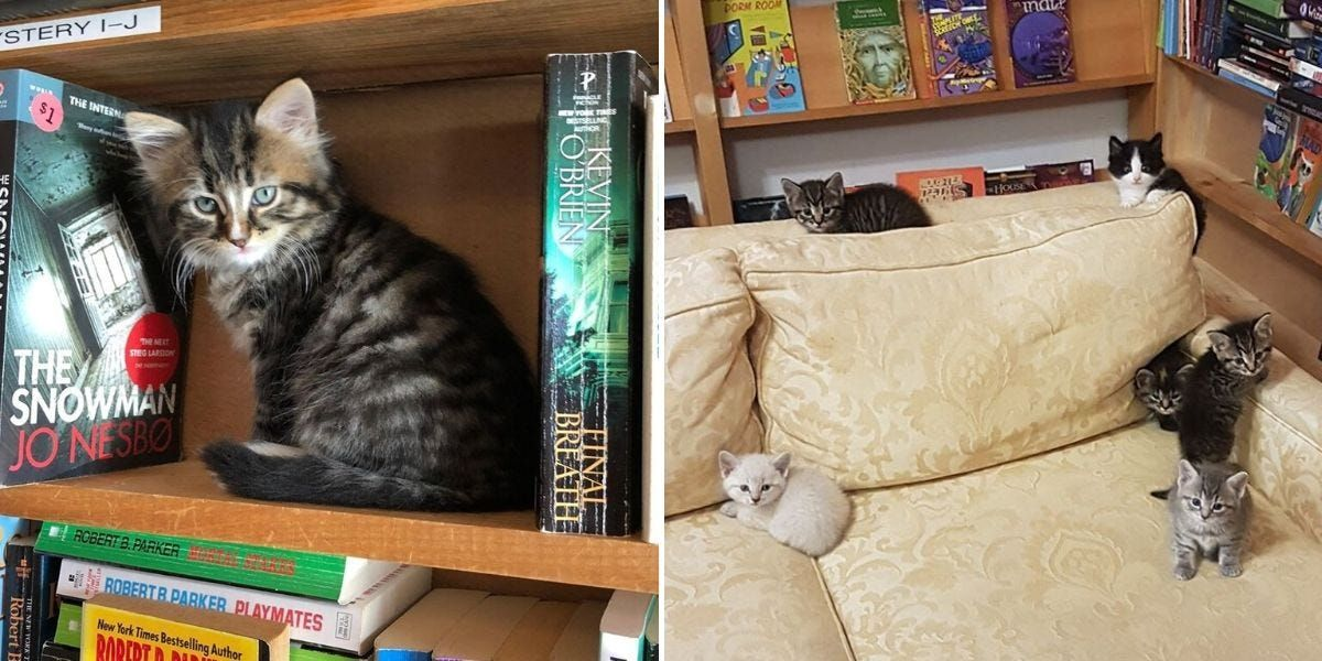 A Bookstore In Canada Is Filled With Adorable Foster Kittens That
