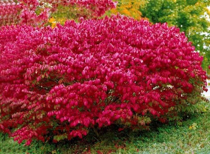 Photo fusain ail jardin pinterest fusain ail fusain et arbuste - Arbuste japonais persistant ...