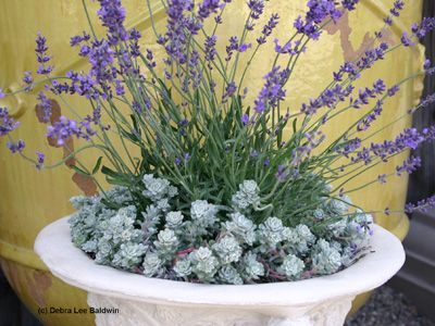 Lavender For Mixed Containers Google Search Succulents In Containers Container Gardening Succulents