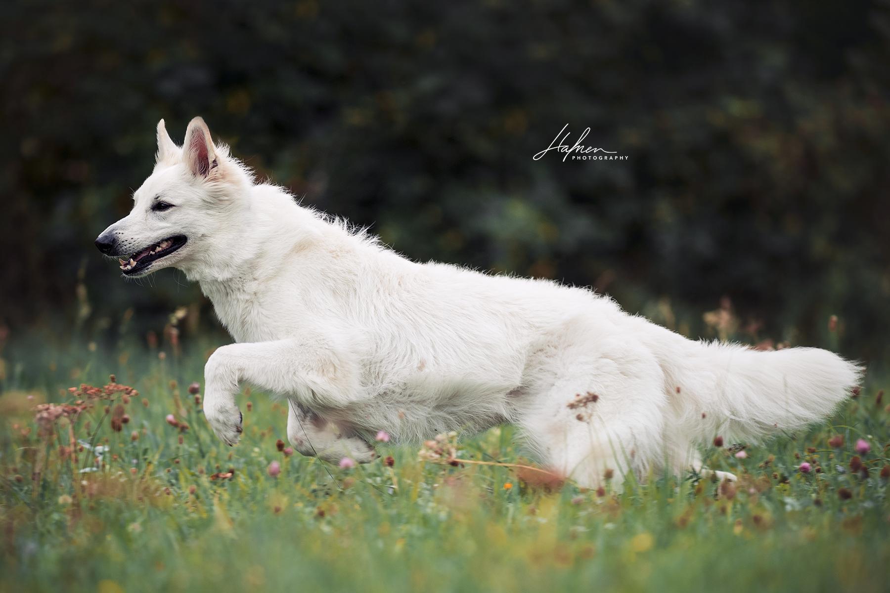 Weisser Schweizer Schaferhund Springt Uber Durch Die Wiese Hund