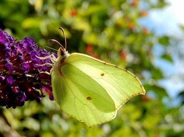 Citroenvlinder in de zomer: nectar verzamelen voor wintervoorraad