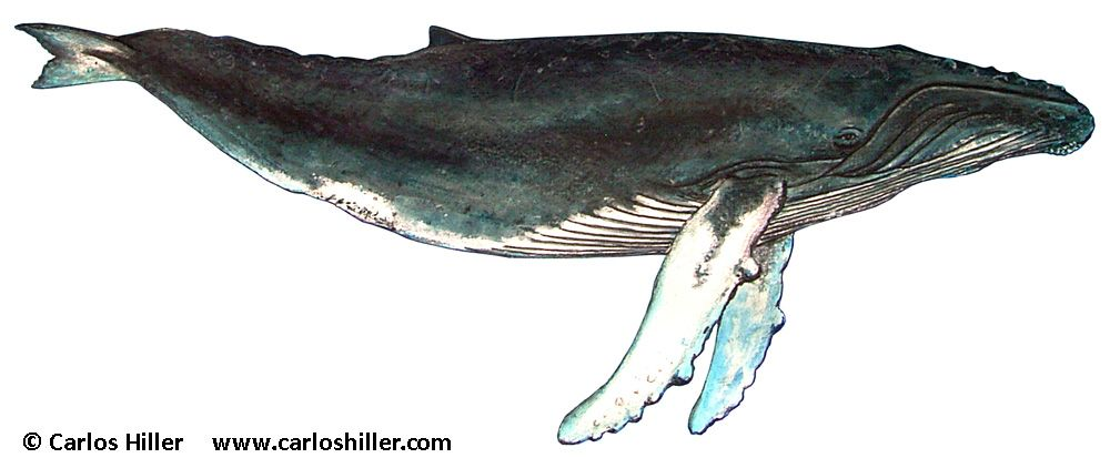 gallery for gt humpback whale illustrations plans