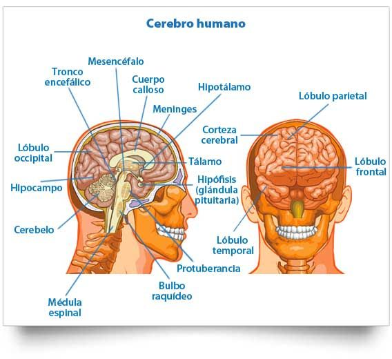Cerebro Humano Estructura Y Funciones Anatomia Del