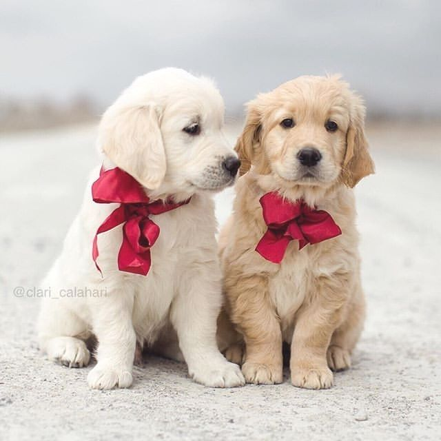 Did You Ever See Anything Cuter Than These Adorable Golden