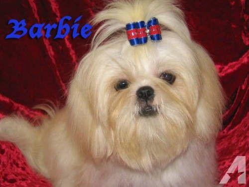Retired Young Adult White Shih Tzu Female Barbie Shih Tzu Pet Style Shih Tzu Long Hair