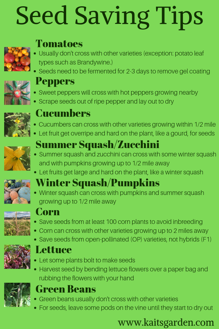Seed Saving Tips is part of Seed saving, Green bean seeds, Growing cucumbers, Cucumber seeds, Organic vegetable garden, Fruit garden - These handy seed saving tips will help you take your gardening to a whole new level! Saving seeds from your garden has a lot of perks!