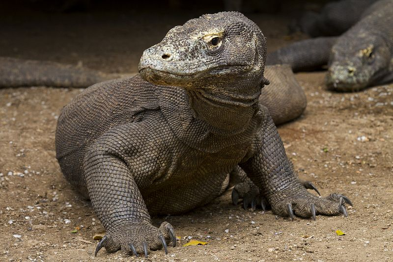Komodo Dragon, The Largest Lizard in The World by Sayid Budhi on Flickr | Wildlife Komodo in Rinca Island (Komodo National Park), the second larges komodo population in the world after Komodo island, East Nusa Tenggara.