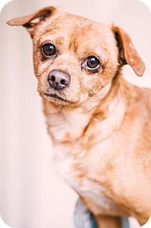 Tucker Youngstown Oh Chihuahua Pug Mix Meet Tucker A Dog