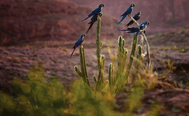 Muitas vezes Arara-azul-de-lear (Anodorhynchus leari): vive na Caatinga. É uma  CE19