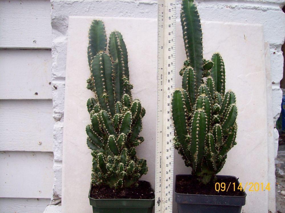 Large Size Fairy Castle Cactus Plant Cereus Cactus Plants Fairy Castle Cactus Small Xmas Tree