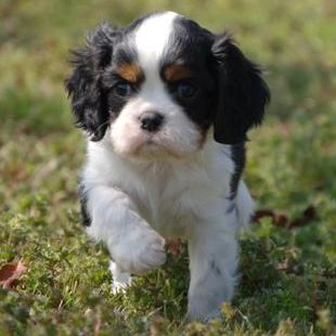 Wisteria Goldens - Cavalier King Charles Spaniel Puppies for Sale Cavalier Puppy's for Sale