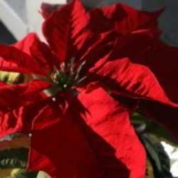 Now that Christmas time is nearing, you will undoubtedly start seeing these beautiful plants for sale again, as they have become an important holiday tradition. One of the frustrating things about ...