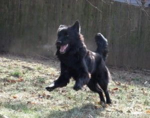 Sapphire Is A 3 Month Old Chow Chow Black Lab Border Collie And
