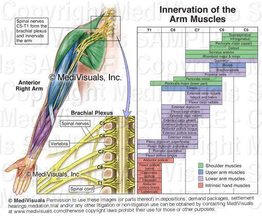 brachial plexus nerves
